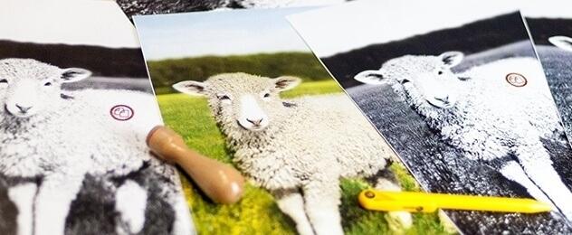 Distintas fotos de una oveja